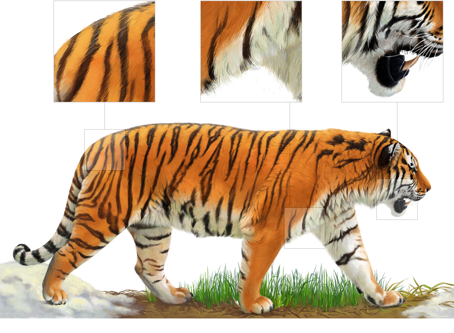 evolutionary history of a tiger Identification: male is yellow with dark tiger stripes female has 2 forms: one yellow like the male and the other black with shadows of dark stripes hindwing of both female forms has a row of striking blue chevrons and an iridescent blue wash over parts of the interior hindwing.